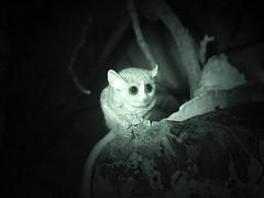 Love is a Pygmy Mouse Lemur