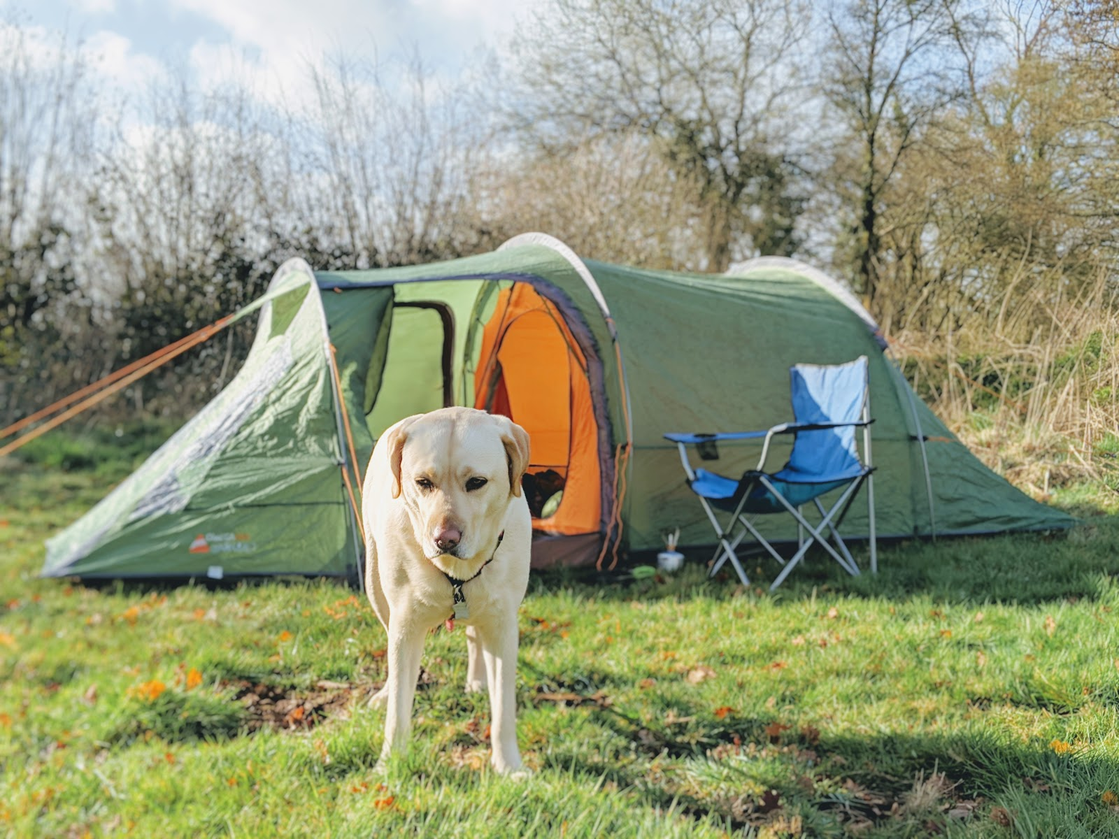 Scully the Labrador enjoying camping