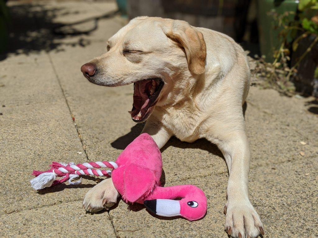 yawning Labrador with flamingo toy