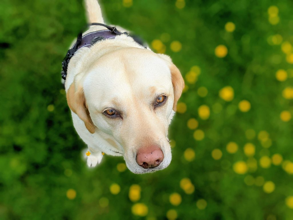 Labrador sat in buttercups looking up