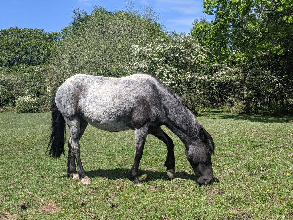 Blue roan New Forest Pony
