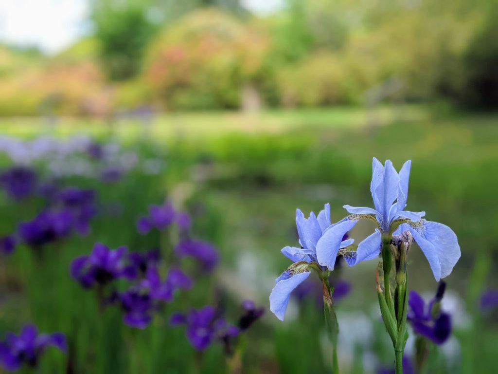 Pale blue iris flower